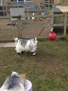 Neville the headbutting goat and his friends!